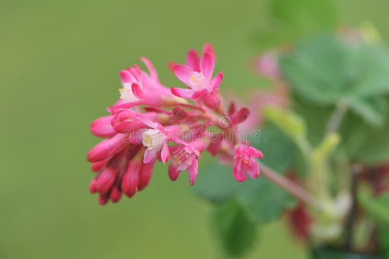 Download Rood-bloeit Bes Op Groene Achtergrond Stock Afbeelding - Afbeelding bestaande uit beeld, raceme: 39108827