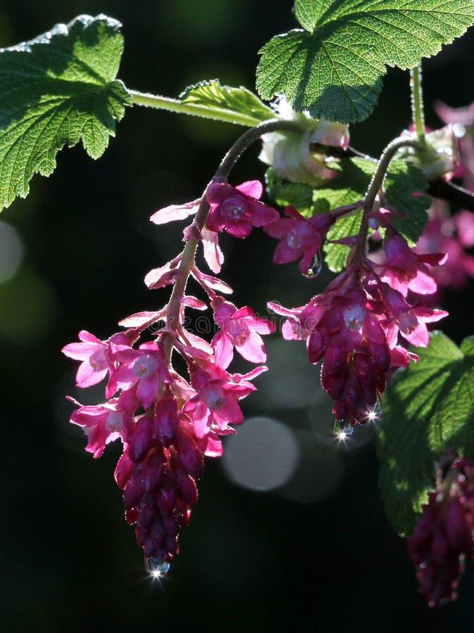 Rood-bloeit Besbloemen stock foto