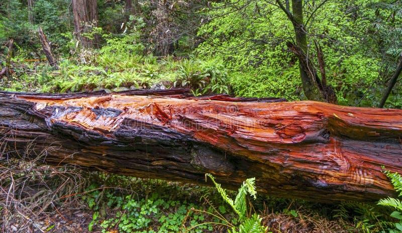 Rood Cedar Tree - het Californische sequoiabos stock fotografie