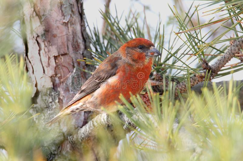Rood & x28; of Common& x29; Crossbill stock foto
