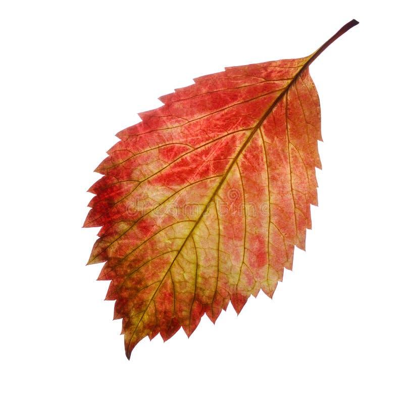 Rood de herfstblad stock foto