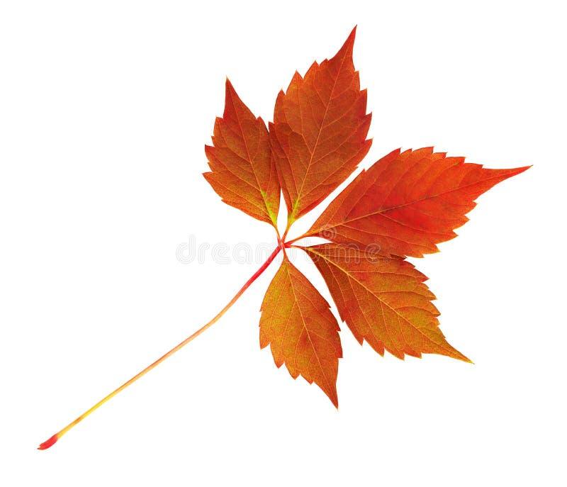 Rood de herfstblad van wilde druif stock foto