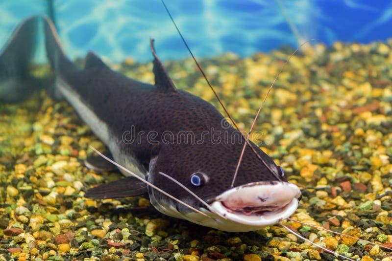 Rood-de steel verwijderde van katvis in een aquarium met een wond op de lip, gevangen katvis stock fotografie