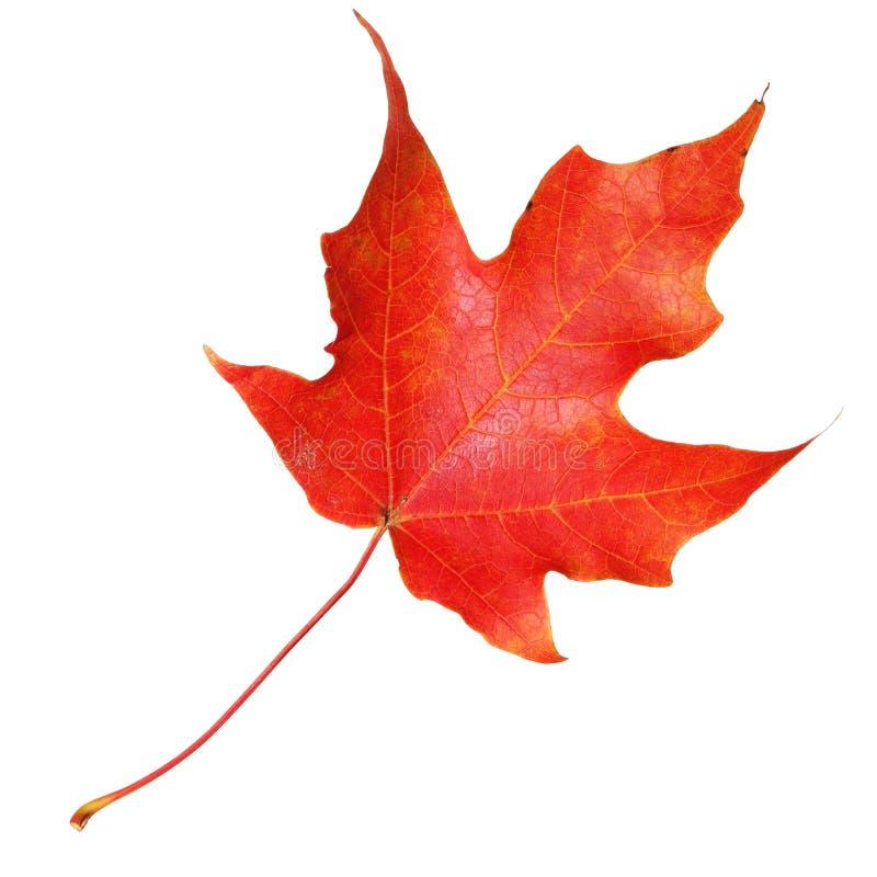 Rood die esdoornblad op witte achtergrond wordt geïsoleerd. Daling stock foto's