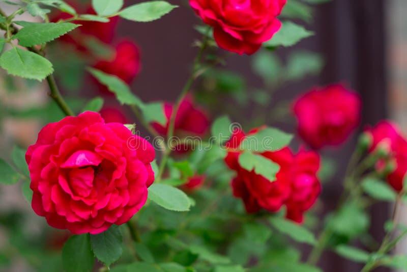 Rood die rozen, bloemenstruiken, de zomertuin beklimmen stock afbeeldingen
