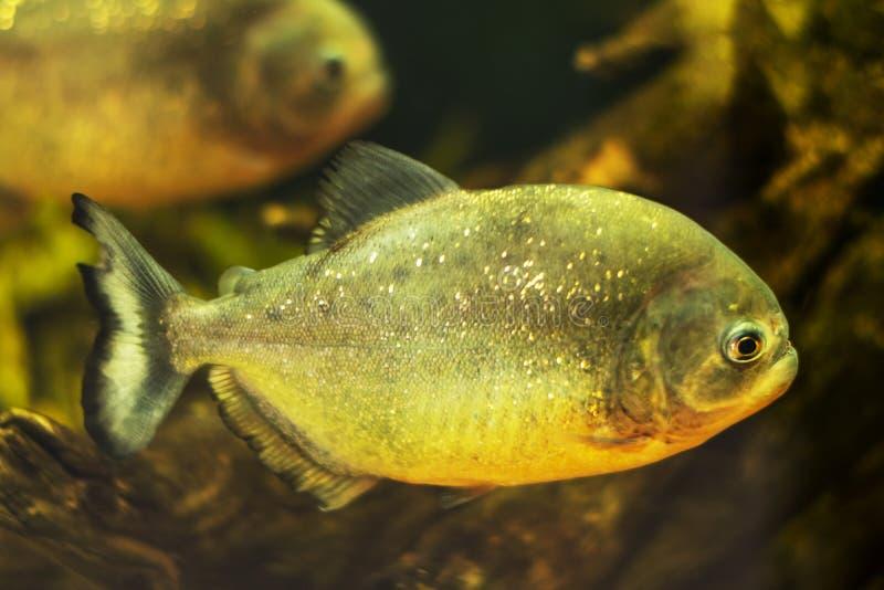 Rood-doen zwellen piranha dicht omhoog, portretfoto royalty-vrije stock fotografie