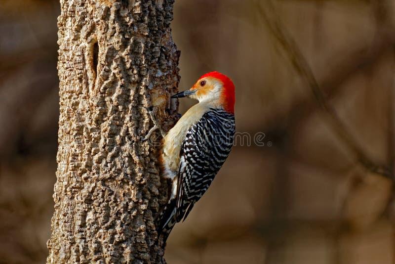 Rood-doen zwellen specht op een boom stock afbeelding
