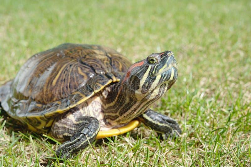 Rood-eared schildpad stock afbeelding