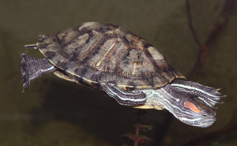 Rood-eared schildpad stock foto