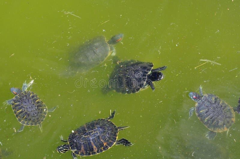 Rood-eared schildpadden stock afbeeldingen