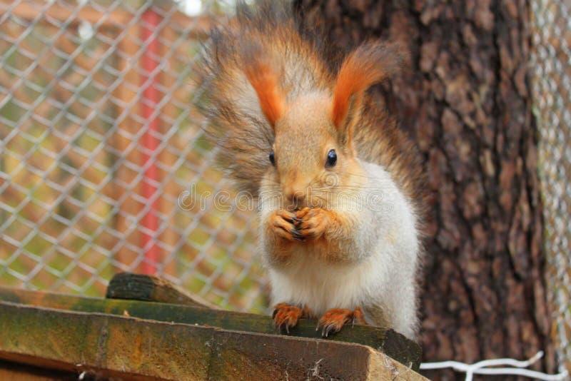 Rood eekhoorn zitting en het barsten zaad bij haar huis stock foto's