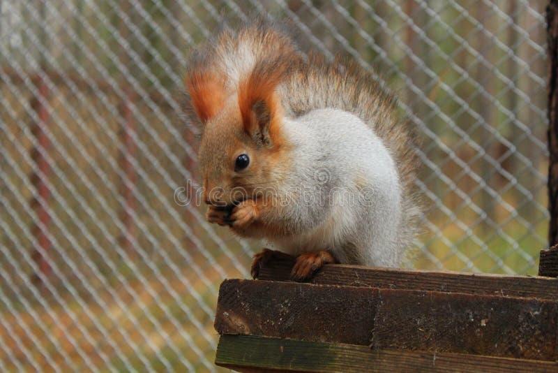 Rood eekhoorn zitting en het barsten zaad bij haar huis stock afbeeldingen