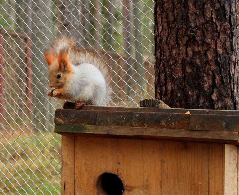 Rood eekhoorn zitting en het barsten zaad bij haar huis royalty-vrije stock afbeeldingen