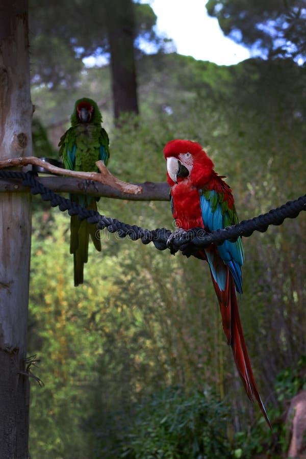 Rood-en-blauwe ara, Aronskelkenararauna, Arapapegaai royalty-vrije stock afbeelding