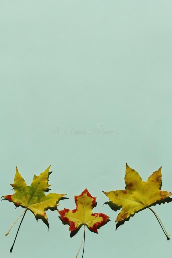 Rood en geel esdoornblad op groene achtergrond royalty-vrije stock fotografie