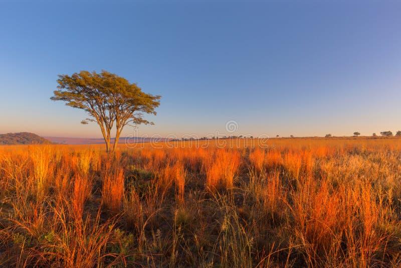 Rood en geel gekleurd gras bij zonsopgang stock foto