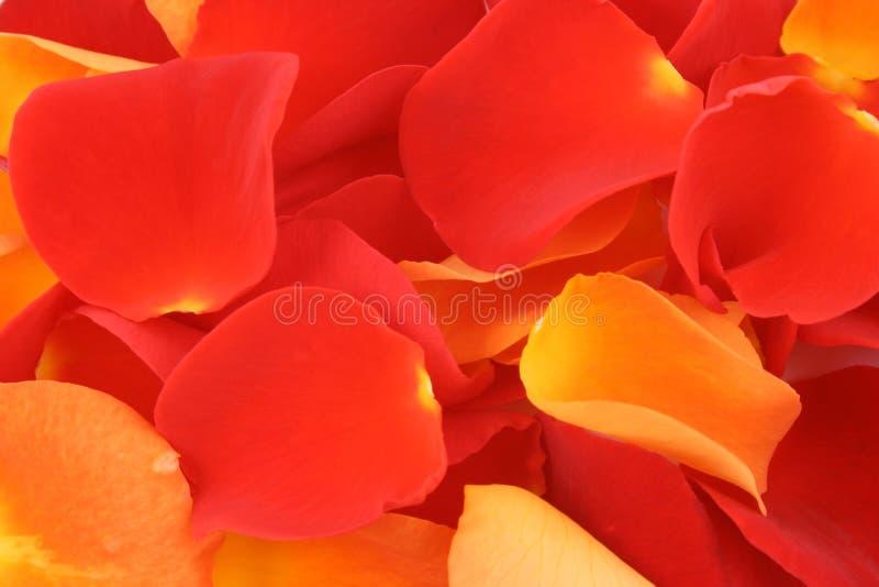 Rood en oranje nam bloemblaadjes toe royalty-vrije stock foto's