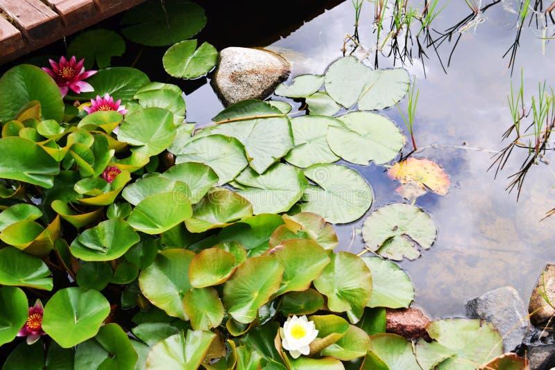 Rood en stroomversnellinglelies die op het water met groene bladeren in de vorm van harten dichtbij het platform drijven royalty-vrije stock afbeelding