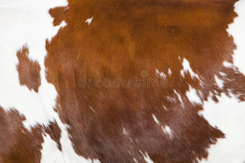 Rood en wit deel van huid aan kant van bevlekte koe stock fotografie
