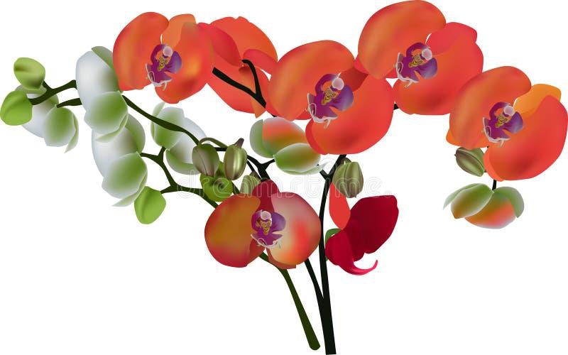 Rood en wit geïsoleerde orchideebloemen stock illustratie
