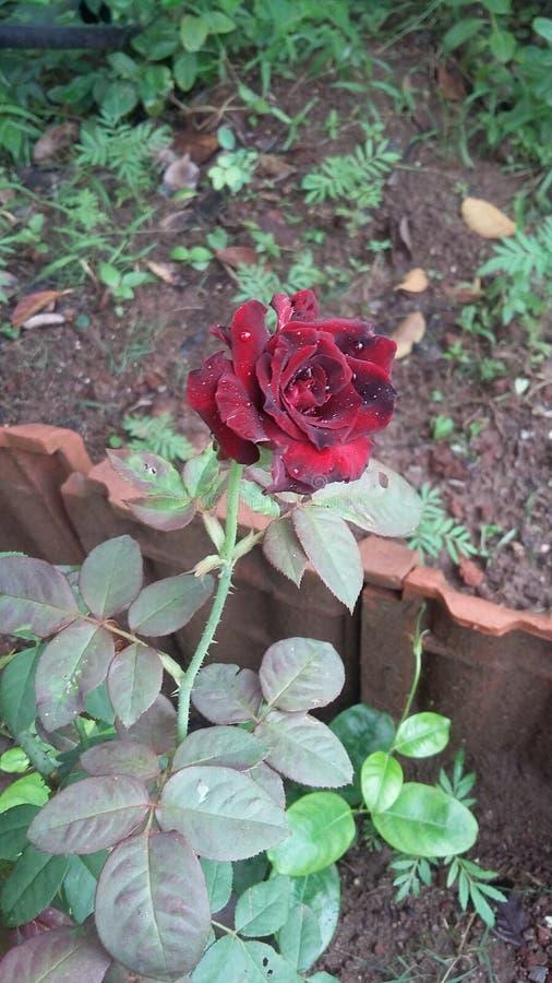 Rood en zwart nam prachtig toe stock afbeelding