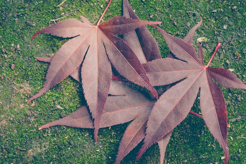 Rood esdoornblad en groen mos stock foto's