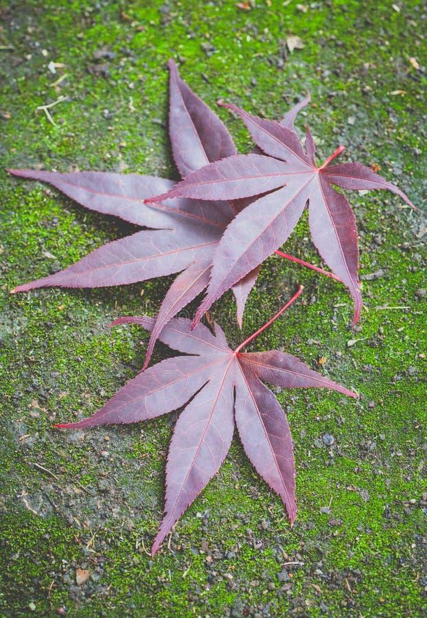 Rood esdoornblad en groen mos stock foto