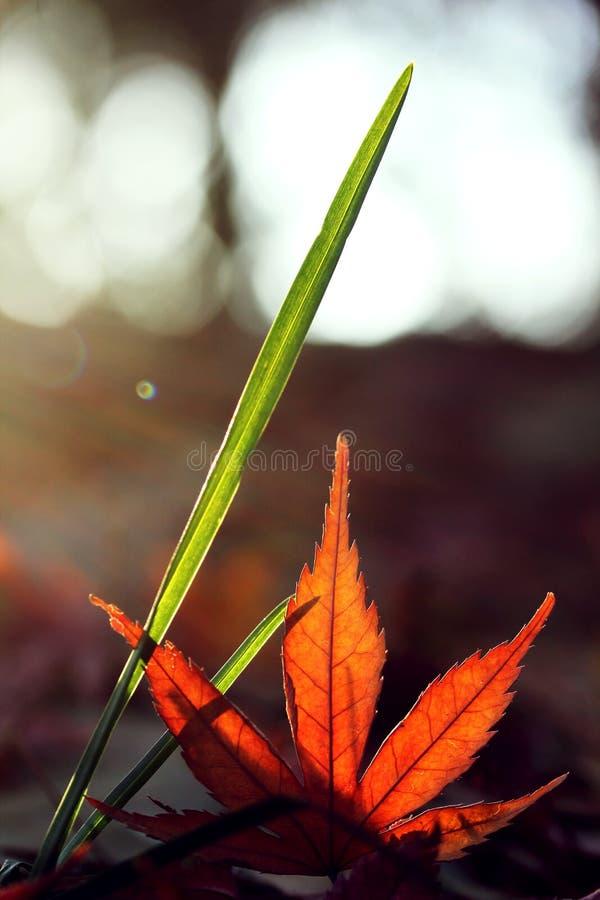 rood esdoornblad met groen gras stock foto's