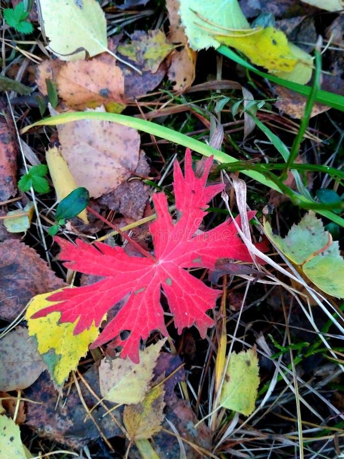 Rood esdoornblad op gevallen bladeren stock fotografie