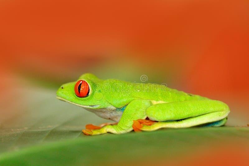 Rood-eyed Boomkikker, Agalychnis-callidryas, dier met grote rode ogen, in de aardhabitat, Panama Kikker van Nicaragua Mooi stock foto
