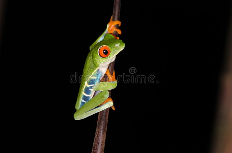Rood-eyed Boomkikker bij nacht stock foto