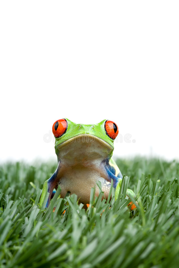 Rood-eyed boomkikker in gras royalty-vrije stock afbeeldingen