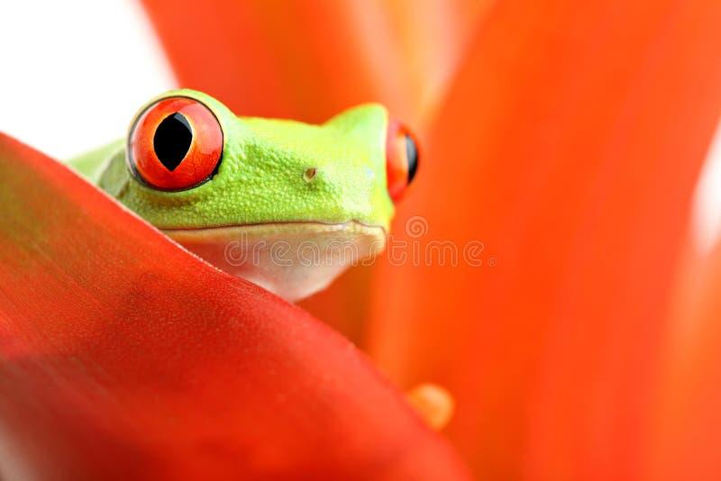 Rood-eyed boomkikker op installatie stock foto's