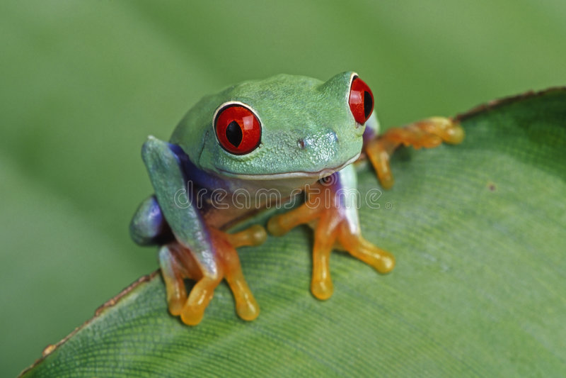 Rood-eyed Treefrog stock foto's