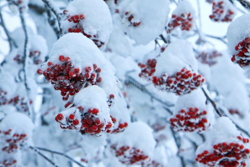 Rood fruit met sneeuw stock foto's