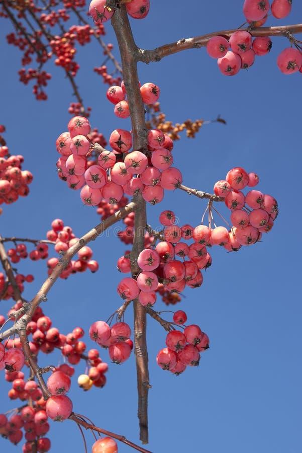 Rood fruit van de boom van de krabappel stock afbeelding