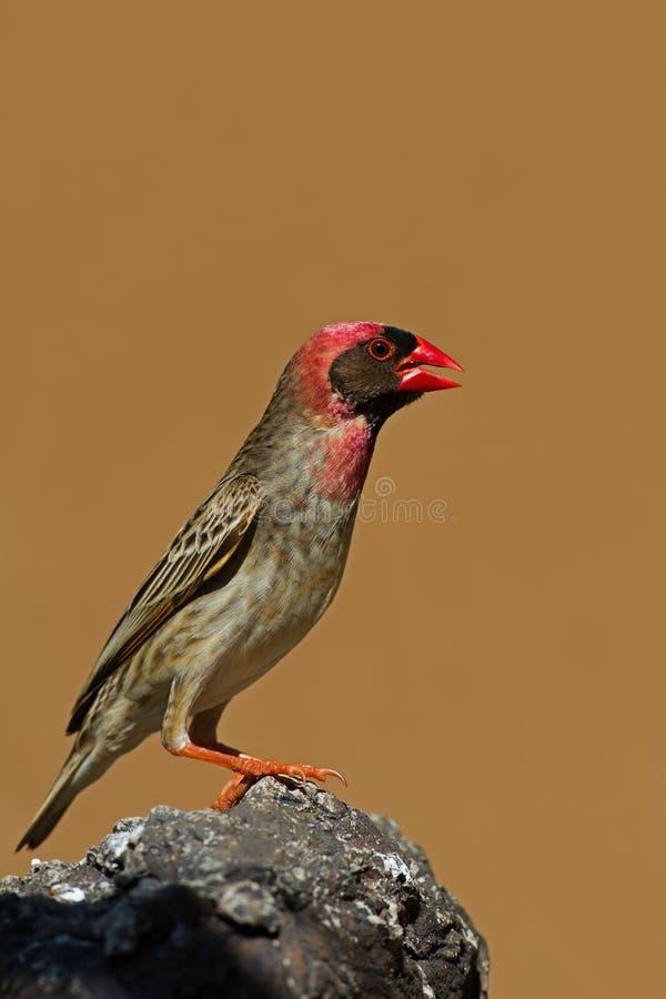 Rood-gefactureerde die Quelea op rots wordt neergestreken stock fotografie