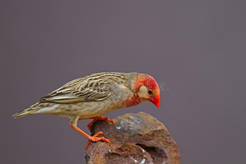 Rood-gefactureerde die Quelea op rots wordt neergestreken (Wit masker); royalty-vrije stock fotografie