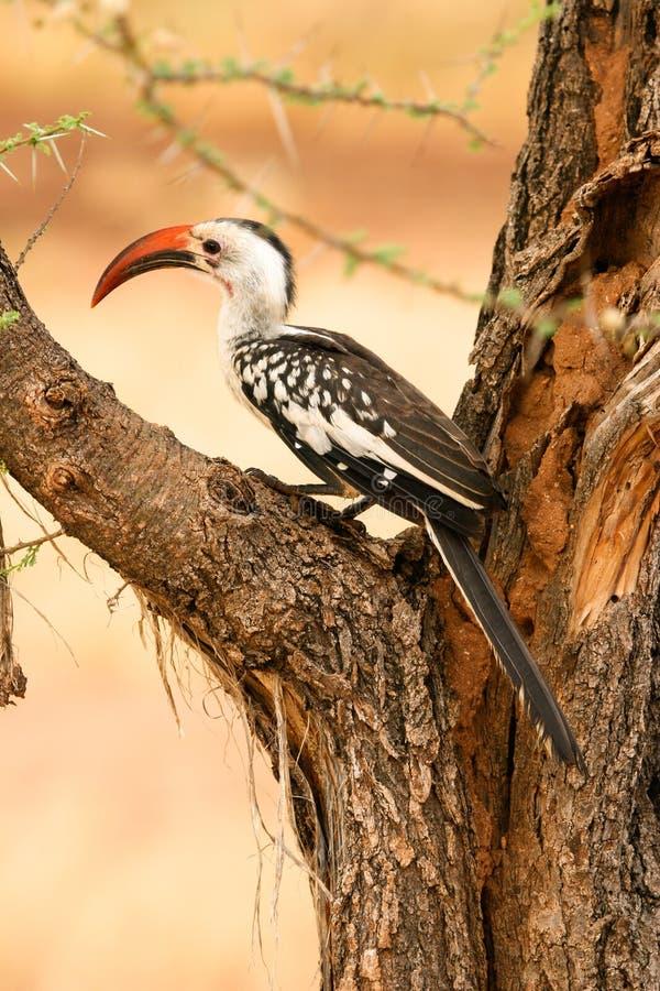 Rood-gefactureerde Hornbill, Samburu, Kenia royalty-vrije stock afbeelding