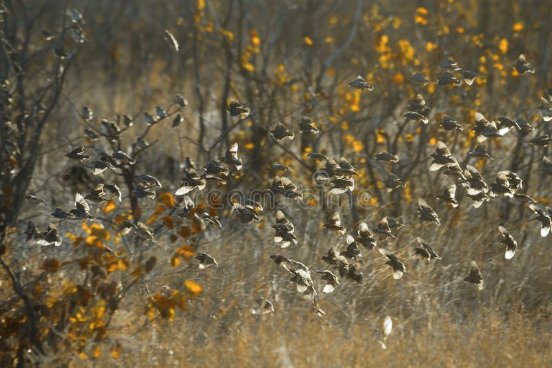 Rood-gefactureerde Quelea in het Nationale park van Kruger, Zuid-Afrika royalty-vrije stock afbeeldingen