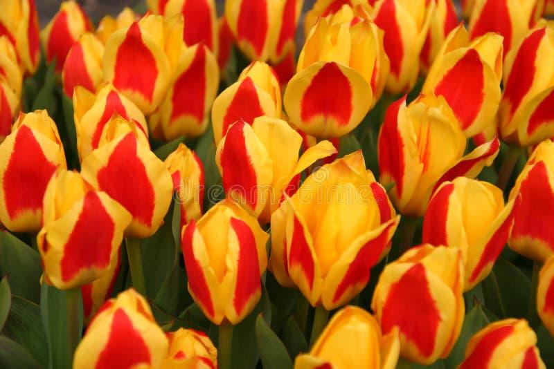 Rood-gele Tulpen royalty-vrije stock foto's