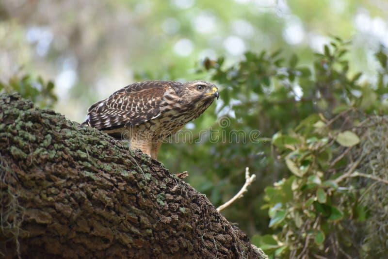 Rood Gesteund Hawk On The Lookout stock afbeeldingen