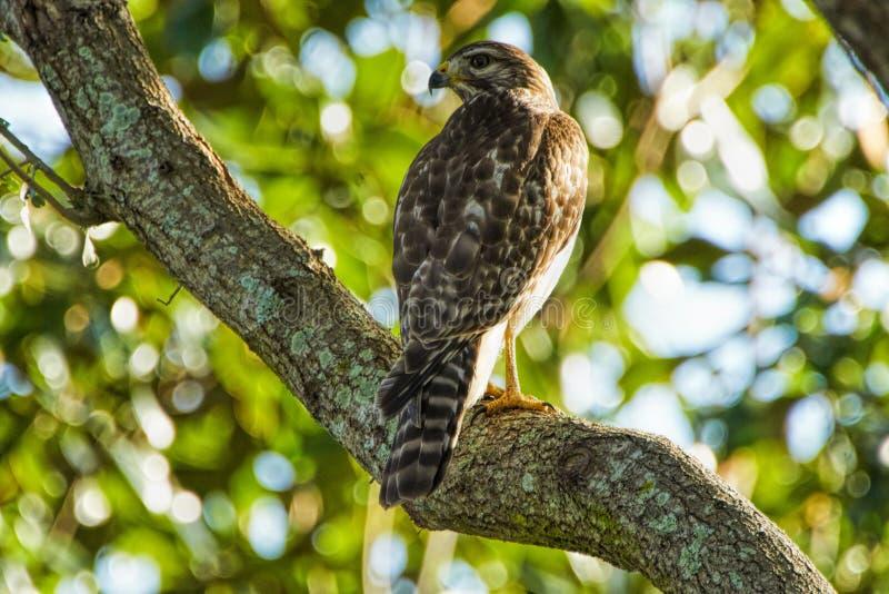 Rood-gesteunde die Hawk Buteo-lineatus in een boom in Florida door de boom wordt gecamoufleerd stock foto