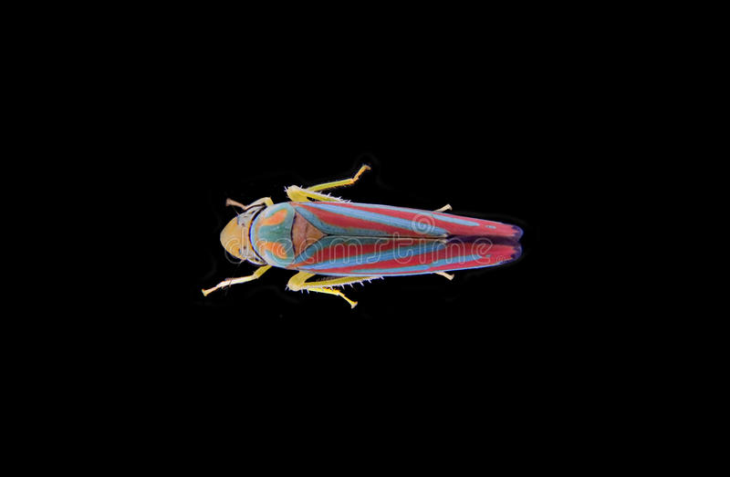Rood-gestreepte Leafhopper stock foto's
