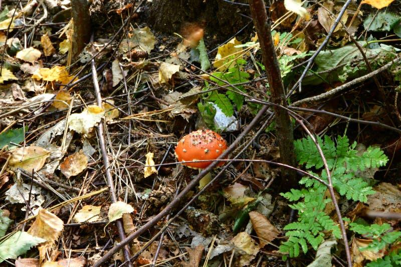 Rood giftige paddestoelbos in de herfst, paddestoelen, boomkleuren, stock foto's