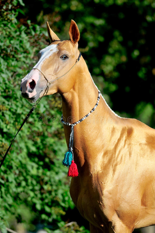 Rood gouden paard akhal-teke portret in de zomer stock afbeelding