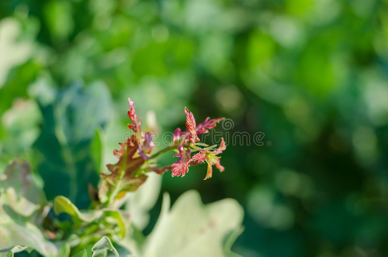 Rood-groene jonge bladeren van een boom in de zon Close-up Zachte nadruk stock foto