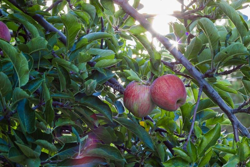 Rood - heerlijke appelen op bomen stock afbeeldingen