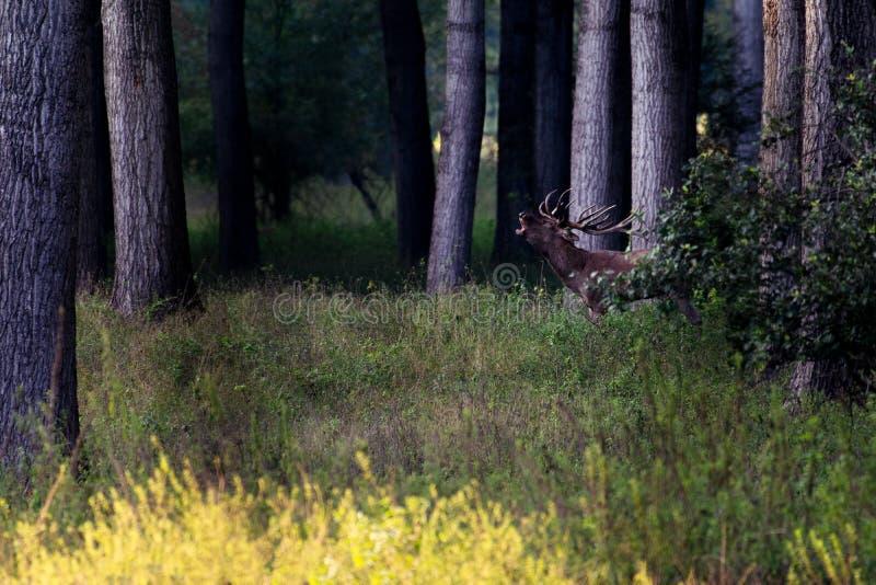 Rood Herten mannelijk gebrul stock foto
