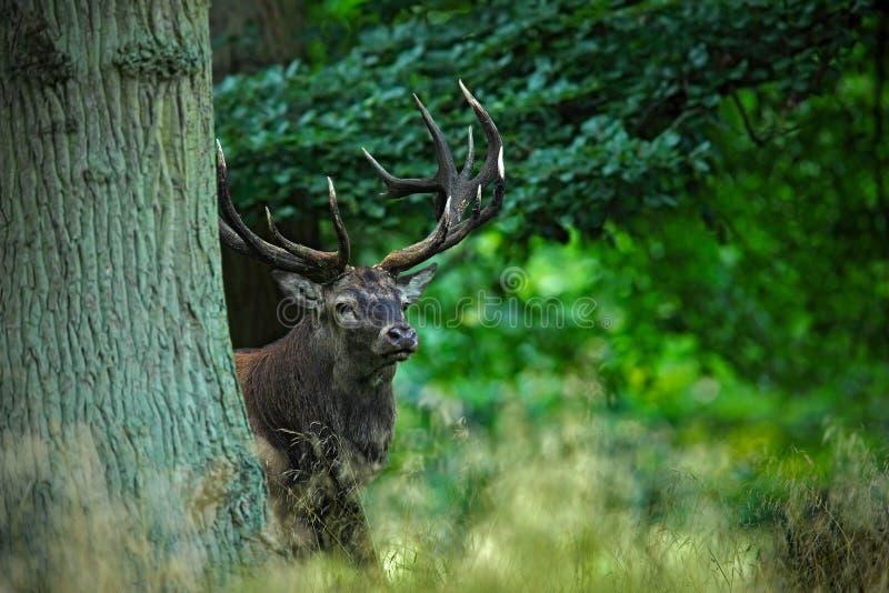 Rood hertenmannetje, bos van de blaasbalg het majestueuze krachtige volwassen dierlijke buitendieherfst, in de bomen wordt verbor royalty-vrije stock foto